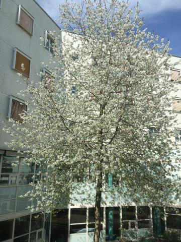 White Blossom Tree in the central courtyard at IES Kista